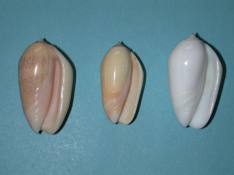 Americoliva incrassata burchorum (Zeigler, 1969) - Worms = Americoliva incrassata (Lightfoot in Solander, 1786) Oliva_12