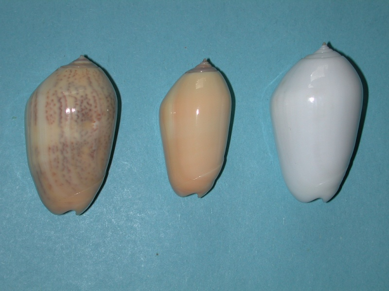 Americoliva incrassata burchorum (Zeigler, 1969) - Worms = Americoliva incrassata (Lightfoot in Solander, 1786) Oliva_13