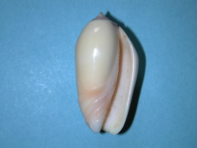 Americoliva incrassata burchorum (Zeigler, 1969) - Worms = Americoliva incrassata (Lightfoot in Solander, 1786) - Page 2 Oliva_14