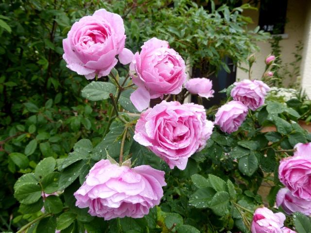 tous ces rosiers que l'on aime - floraisons 09-06-17