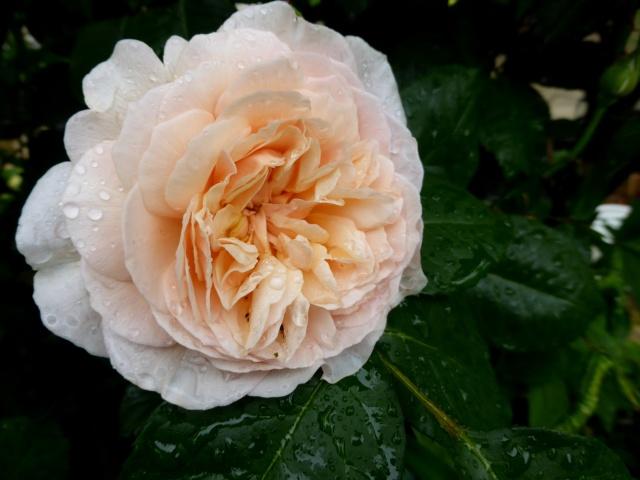 tous ces rosiers que l'on aime - floraisons 09-06-18