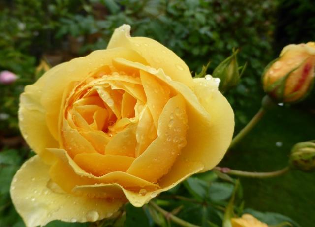 tous ces rosiers que l'on aime - floraisons 09-06-19