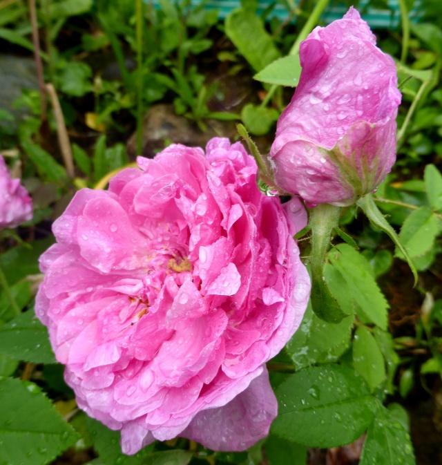 tous ces rosiers que l'on aime - floraisons 09-06-20