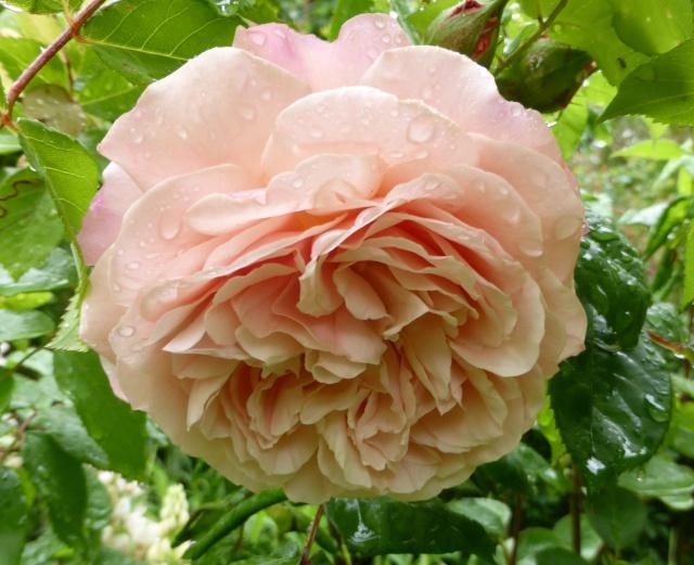 tous ces rosiers que l'on aime - floraisons 09-06-21