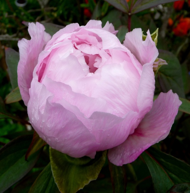 Paeonia - pivoines arbustives - Page 3 23-04-11