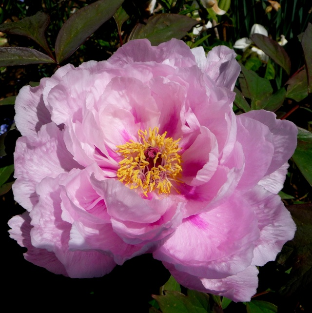 Paeonia - pivoines arbustives - Page 3 25-04-11