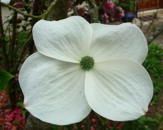 Cornus 'Eddie's White Wonder' 30-04-15