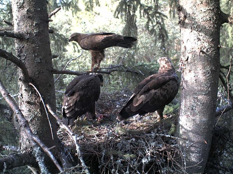 Estonian Lesser Spotted Eagles 2013 ~ Eha & Koit 2012-011