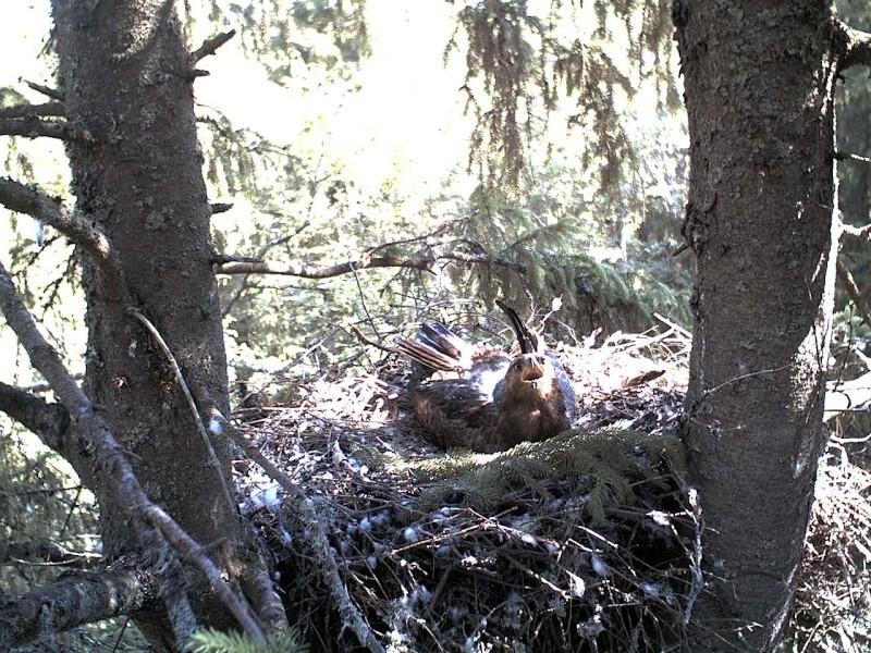 Estonian Lesser Spotted Eagles 2013 ~ Eha & Koit - Page 2 2013-134