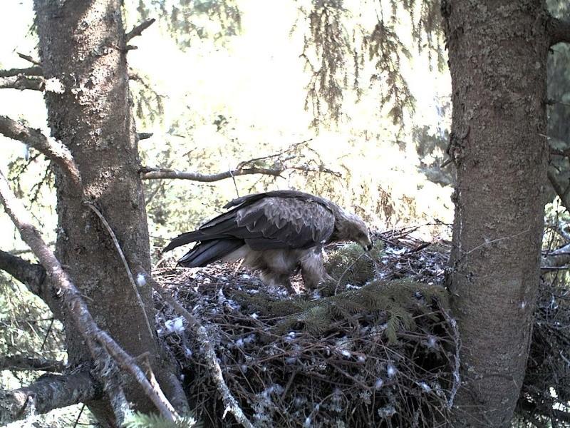 Estonian Lesser Spotted Eagles 2013 ~ Eha & Koit - Page 2 2013-135