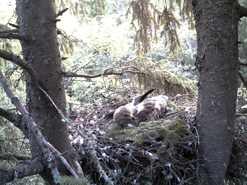 Estonian Lesser Spotted Eagles 2013 ~ Eha & Koit - Page 2 2013-145
