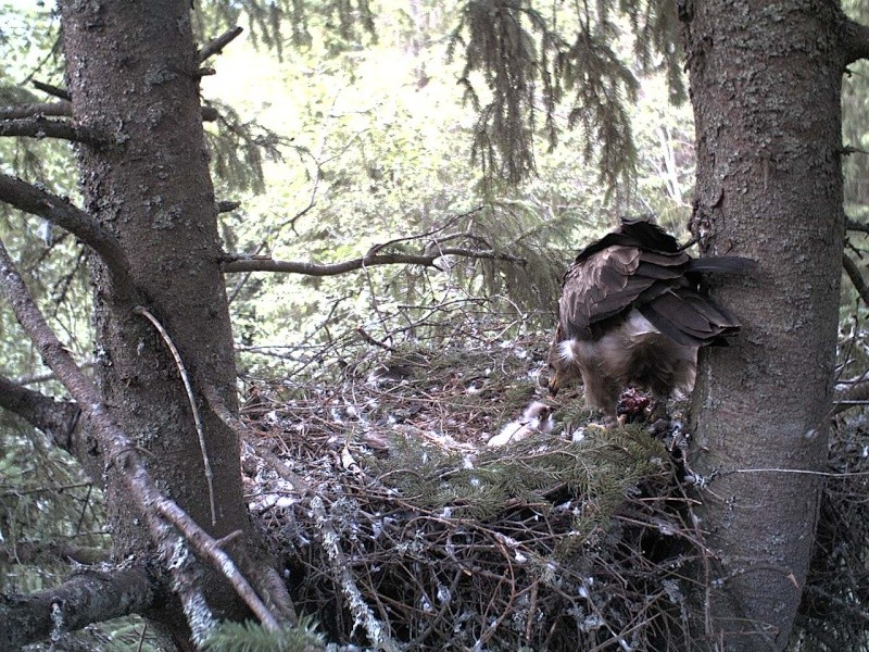 Estonian Lesser Spotted Eagles 2013 ~ Eha & Koit - Page 2 2013-243