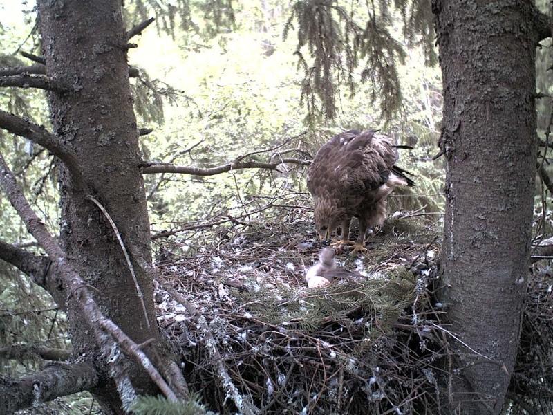 Estonian Lesser Spotted Eagles 2013 ~ Eha & Koit - Page 2 2013-260