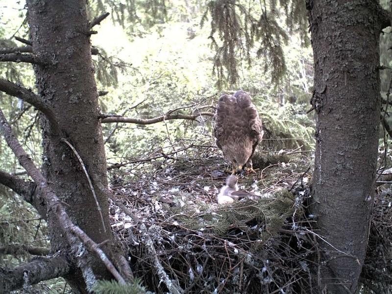 Estonian Lesser Spotted Eagles 2013 ~ Eha & Koit - Page 2 2013-261