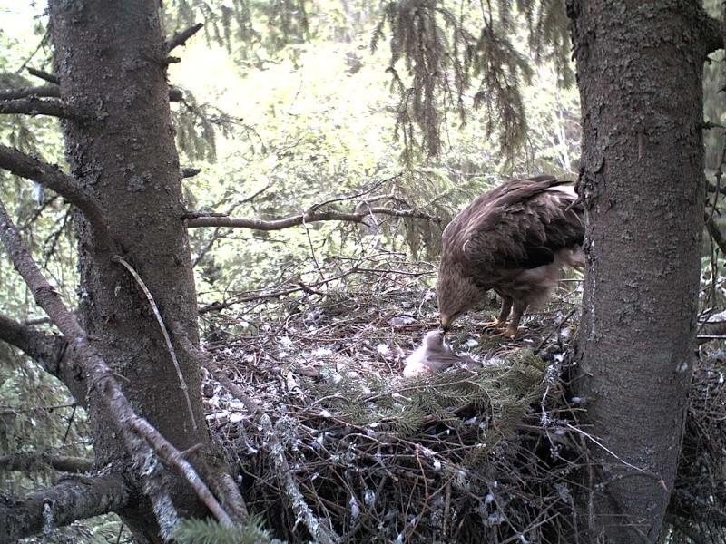 Estonian Lesser Spotted Eagles 2013 ~ Eha & Koit - Page 2 2013-262