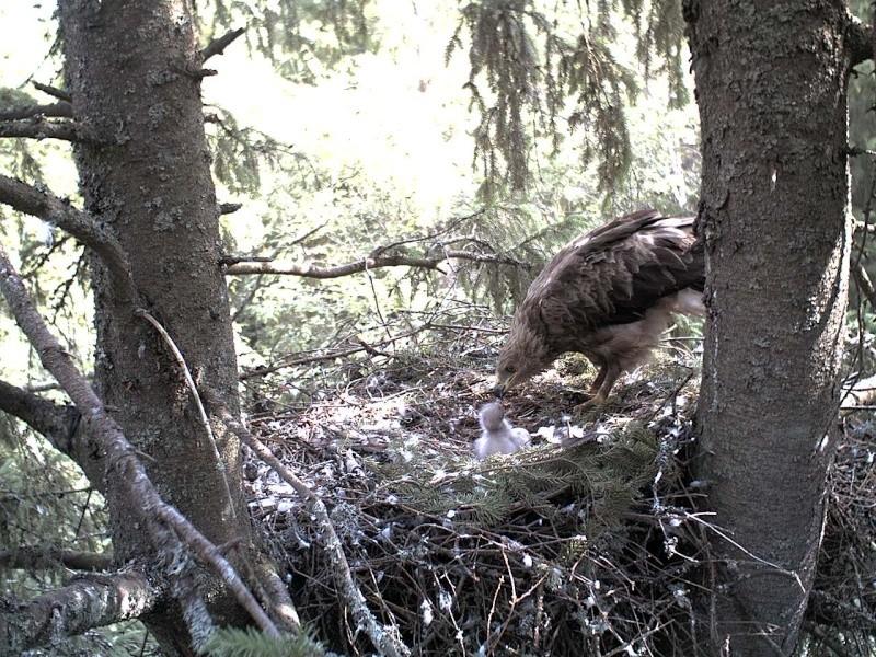 Estonian Lesser Spotted Eagles 2013 ~ Eha & Koit - Page 2 2013-266
