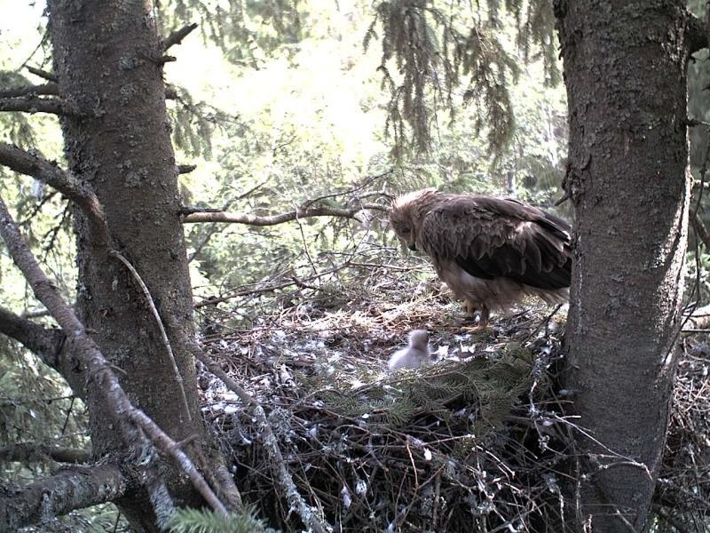 Estonian Lesser Spotted Eagles 2013 ~ Eha & Koit - Page 2 2013-267