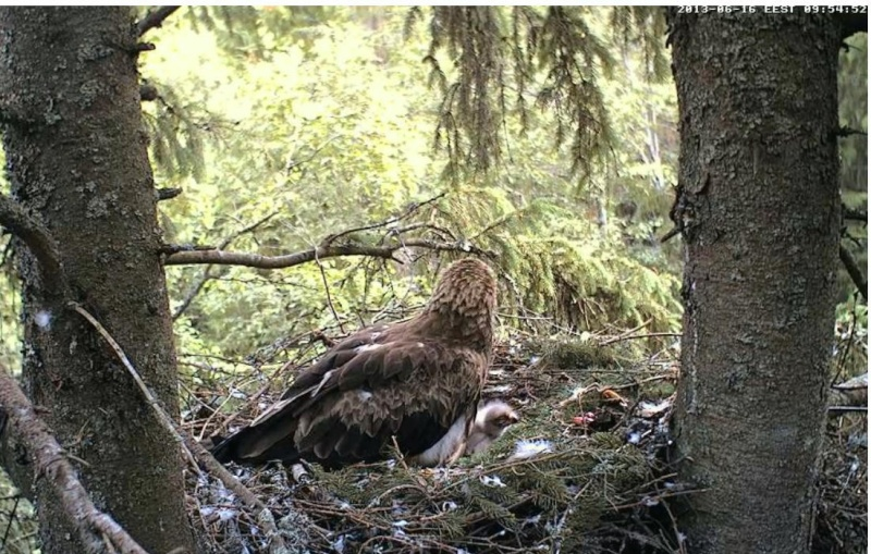 Estonian Lesser Spotted Eagles 2013 ~ Eha & Koit - Page 2 Kbbbcc10