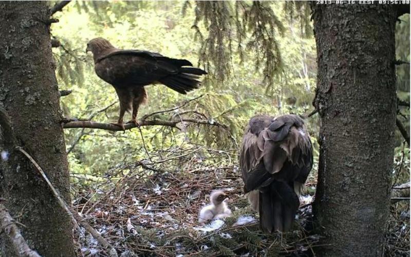 Estonian Lesser Spotted Eagles 2013 ~ Eha & Koit - Page 2 Kbbbcc11