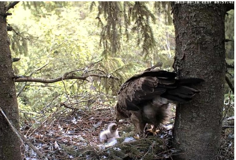 Estonian Lesser Spotted Eagles 2013 ~ Eha & Koit - Page 2 Kbbbcc13