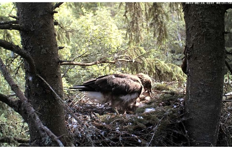 Estonian Lesser Spotted Eagles 2013 ~ Eha & Koit - Page 2 Kccckc10