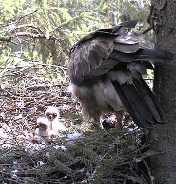 Estonian Lesser Spotted Eagles 2013 ~ Eha & Koit - Page 2 Kckcck10