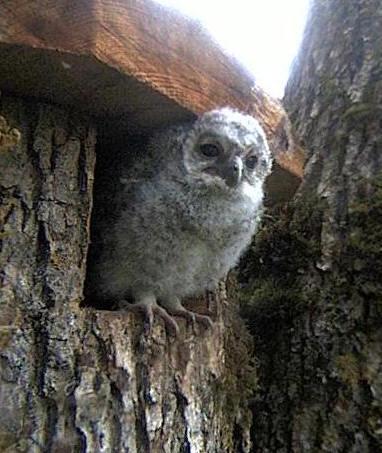 Owls in Estonia - Page 37 Mmmaaa16