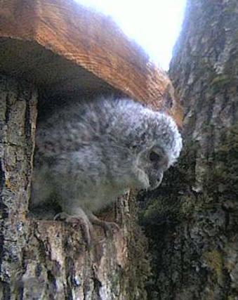Owls in Estonia - Page 37 N12