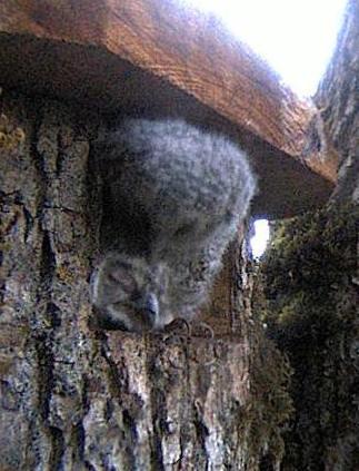 Owls in Estonia - Page 36 Naaab12