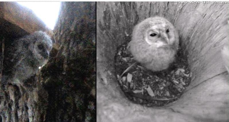 Owls in Estonia - Page 36 Nna12