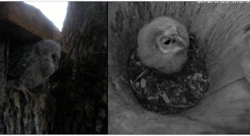 Owls in Estonia - Page 36 Nnnaaa11