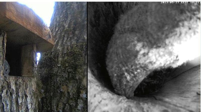Owls in Estonia - Page 36 Oa11