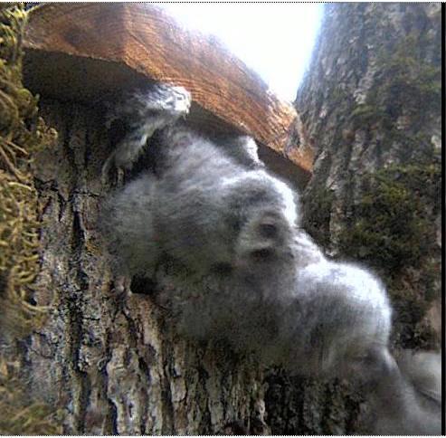 Owls in Estonia - Page 36 Oaaa10