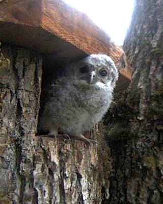 Owls in Estonia - Page 36 Ooa12