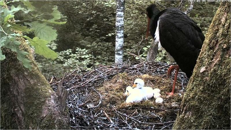 Black Stork ~ Tiit & Tiina ~ 2013 Paaa10
