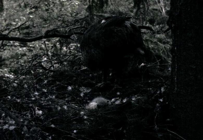 Estonian Lesser Spotted Eagles 2013 ~ Eha & Koit - Page 2 Ppaaa13
