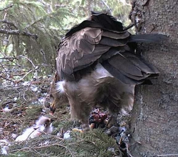 Estonian Lesser Spotted Eagles 2013 ~ Eha & Koit - Page 2 Rbbbcc10