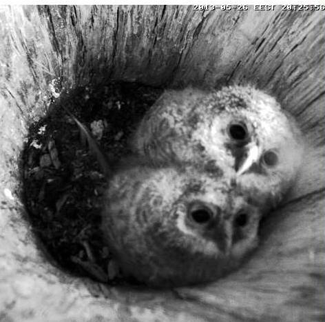 Owls in Estonia - Page 36 Sssaaa13