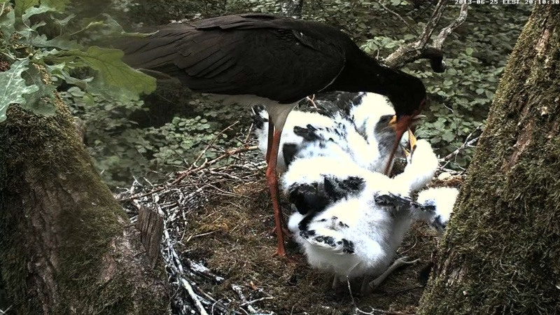 Black Stork ~ Tiit & Tiina ~ 2013 - Page 2 Ucuaaa10