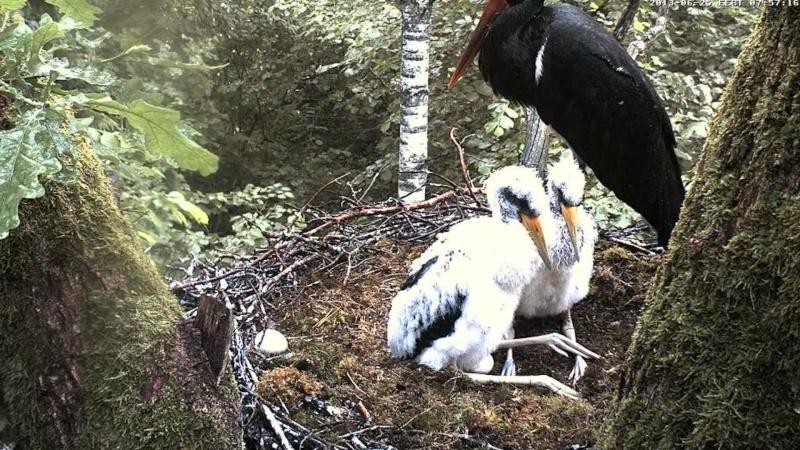 Black Stork ~ Tiit & Tiina ~ 2013 - Page 2 Va14