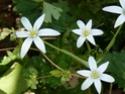 fleurs sauvages d'Italie P1050411