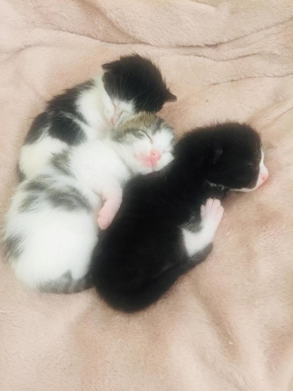Praline chatte européenne 30-05-19  62541011