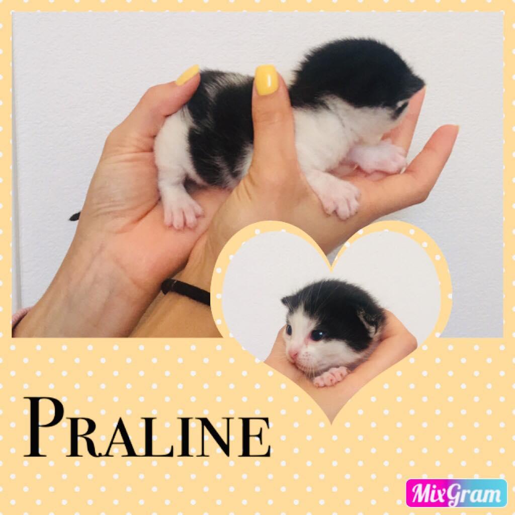 Praline chatte européenne 30-05-19  64235910