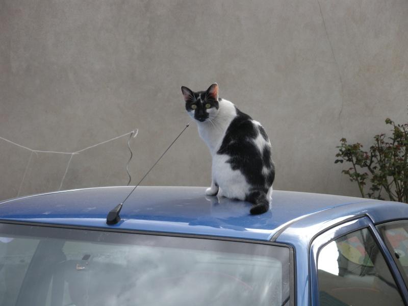 DALMAT un chat plein de vie à l'adoption. Dscn0913