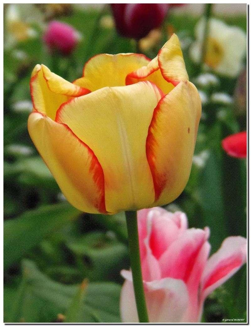 Le printemps le printemps, enfin de la couleur ! P4300110