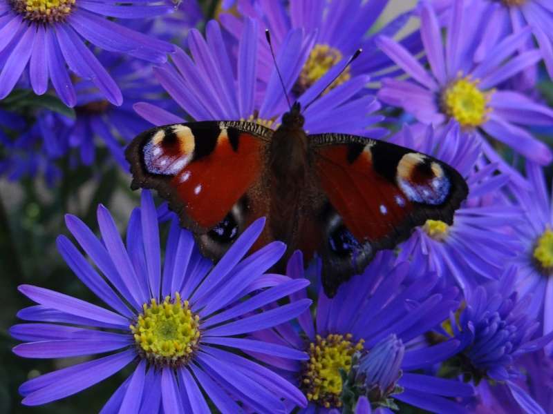 Jolis papillons Dsc01010