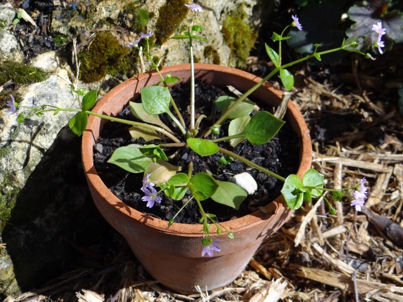 claytonia sibirica Dsc01363