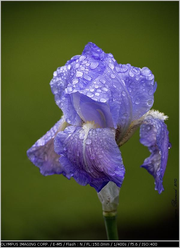 Iris bleu après la pluie ! !   P5220010