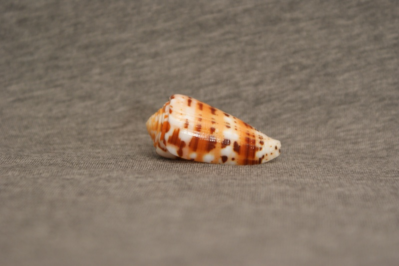 Conus (Pionoconus) barthelemyi jeanduvali   Bozzetti, 2010 Dsc00717