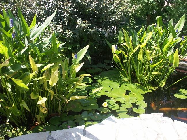Bienvenue chez les Koïs...mon bassin Pict0210